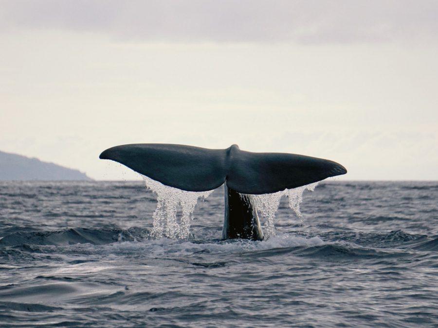 whale-watching-observation-baleines-observação-baleias-sailboat-yacht-voilier-veleiro-charter-location-aluguer-cruise-croisiere-cruzeiro-azores-açores